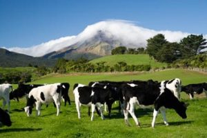 Cows, Farmland and Mt Taranaki / Egmont, Taranaki, North Island, New Zealand